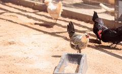 Black, buff, brown, and white chickens - stock photo