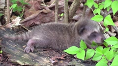 baby raccoon fell out of tree - stock footage