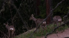 Three roe deers feeding in a forest Stock Footage