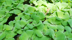 Water lettuce in the river - stock footage