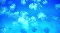 4K Lagoon Jellyfish 01 4k or 4k+ Resolution