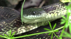 Black snake moves head back and forth Stock Footage