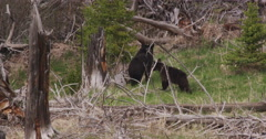 Mother black bear and cub wander leerily into woods Stock Footage
