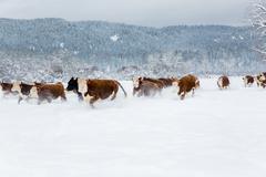 Herd of cattle in snowy farm field Stock Photos