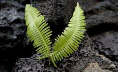 Close up of fern growing on volcanic rock Stock Photos