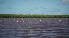 Pink Flamingo Wild Stock Footage