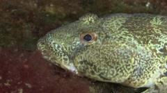 Marine fish Knout goby (Mesogobius batrachocephalus). Stock Footage