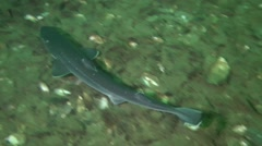 Shark Piked dogfish (Squalus acanthias). Stock Footage