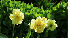 Floral garden. Close-up shot of a blooming yellow narcissus. Stock Footage