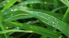 Floral garden. The dew drops on the young succulent green grass. Stock Footage