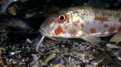 Marine fish Red mullet (Mullus barbatus). Stock Footage