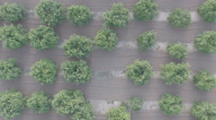 Aerial view of messy orange tree field, flat color Stock Footage