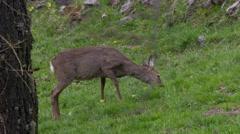 Roe deer (doe) grazing in a meadow at springtime - stock footage