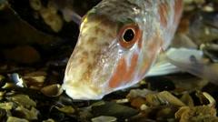 Marine fish Red mullet (Mullus barbatus). Stock Footage