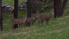 Old doe (roe deer) makes two young ones run away from a danger Stock Footage
