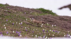 Stoat running among crocus flowers (shaky) - stock footage