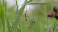 Mating mosquito Stock Footage