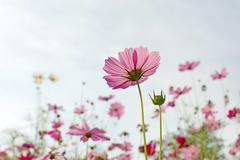 cosmos flower in the garden - stock photo