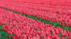 Tulip Flower Fields Stock Footage