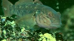 Marine fish Round goby (Neogobius melanostomus). Stock Footage