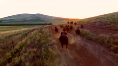 Cows Running Dusk Sun Aerial View .mp4 Stock Footage