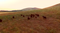 Cows Running Pregnant Cow Sun Set.mp4 Stock Footage