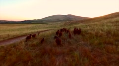 Farm With Mountains Cows Sun Set Wide Slow Epic Aerial View.mp4 Stock Footage