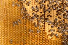 Busy bees inside hive with sealed cells for their young. - stock photo