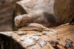 Burgundy snail (Helix pomatia, Roman snail, edible snail, escargot) crawling Stock Photos