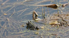 A frog sitting in the water and croak - stock footage