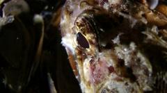 European black scorpionfish (Scorpaena porcus). Stock Footage