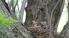Thrush Fieldfare nestlings sitting in a nest waiting for feeding Stock Footage