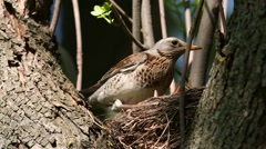 Thrush Fieldfare (Turdus pilaris) feeding chicks in the nest Stock Footage