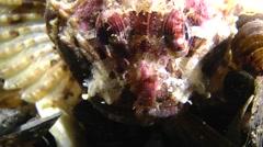 Black scorpionfish (Scorpaena porcus). Stock Footage