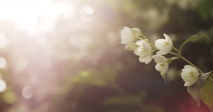 Jasmine white flowers in sunset light, visible pixel mesh Stock Footage