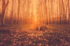 Fairytale sunrise in a forest - stock photo