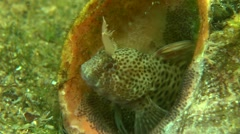 Tentacled blenny (Parablennius tentacularis). Stock Footage