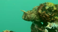 Male of Tentacled blenny (Parablennius tentacularis) on the nest. Stock Footage