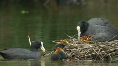 Coot adults (Fulica atra) feeding young Stock Footage