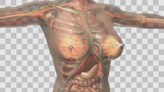 science anatomy scan of human body with internal organs. PNG with Alpha - stock footage