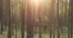 Blurred background of pine forest with sunset light Stock Footage