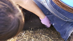 Close up- Woman uses elastrator to place rubber band to castrate male calf Stock Footage