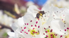 Bee on a white flower on a tree Stock Footage