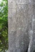 Ceiba pentandra tree trunk in the Amazon Rainforest - stock photo