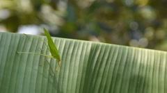 Grasshopper on banana leaf Stock Footage