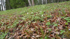 First flowers in the spring forest.slopw motion Stock Footage