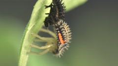 Insect larva beetle ladybird changes its coat, macro, 4k Stock Footage