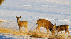 Mule deer grazing in the snowy mountains of Colorado  right before sunset. Stock Footage