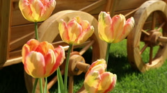 tulips and flower bed on the lawn3 - stock footage