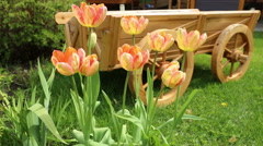 tulips and flower bed on the lawn4 - stock footage